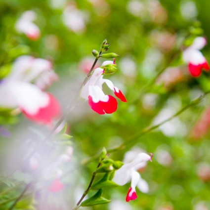 Salvia 'Hot Lips' in the gardens at The Island Gateway