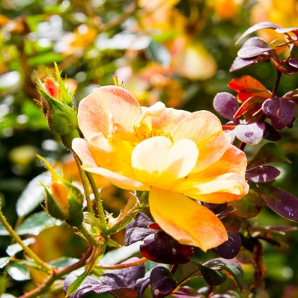 Pale yellow roses contrast with purple barberry