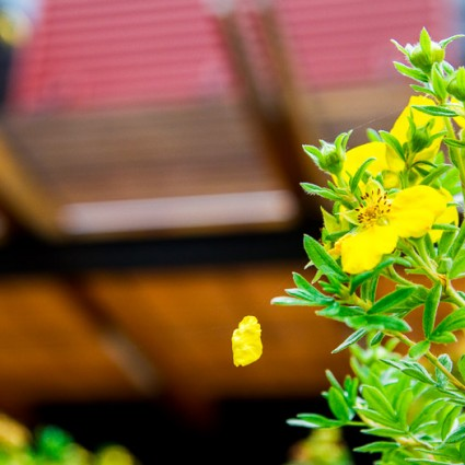 Shrubby yellow potentilla in late summer